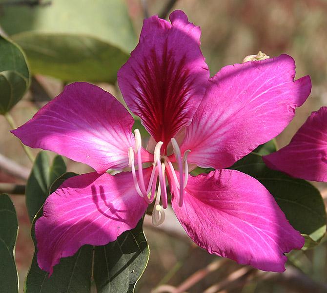 Bauhinia