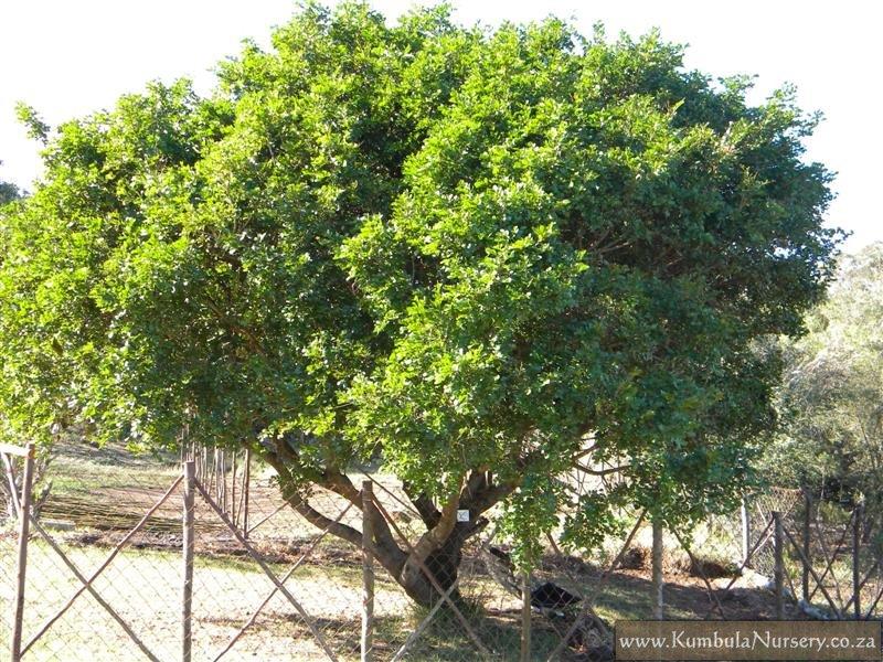 schotia_latifolia