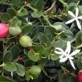 טולבגיה חריפה Tulbegia cepacea  (צמח השום ) משפחה: שומיים Alliaceae מוצא: דרום אפריקה אופי צמח: שושנת עלים צמח סרגלי, ירוק עד. גובה: 0.5 מ' רוחב: 0.4 מ' פריחה: עמודי […]