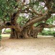 פיקוס השקימה מוצא:מזרח אפריקה אופי: ירוק עד או נשיר מותנה מידות: הנוף רחב ומעוגל גובה 10-12 מטר רוחב 15-20 מטר העץ ניטה כנראה בעיקר […]